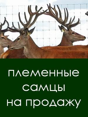 Предлагаются на продажу 2-3 годовалые самцы европейского благородного оленя.